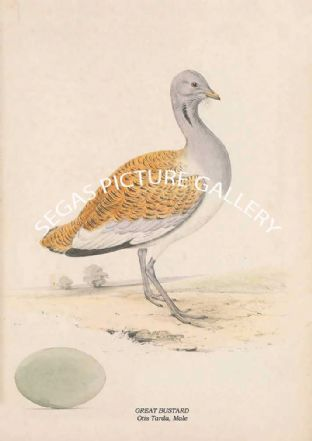GREAT BUSTARD - Otis Tarda, Male